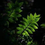 Листья золы горы загоренные sunrays утра Стоковое Изображение