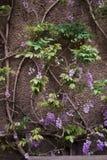 Листья идут вверх по стене Стоковая Фотография RF