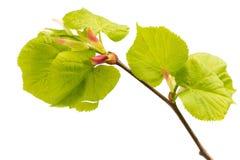 Листья известки дерева. Стоковые Изображения