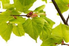 Листья известки дерева. Стоковое Изображение