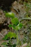 Листья известки Kaffir. Стоковая Фотография