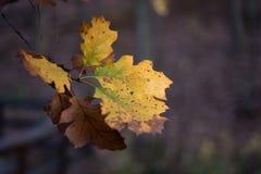 Листья изменяя цвет в падении Стоковые Фото