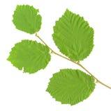 листья изолированные ветвью Стоковая Фотография RF