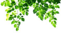 листья изолированные зеленым цветом Стоковое фото RF