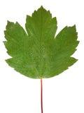 листья изолированные падениями Стоковая Фотография RF