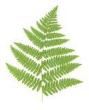 листья изолированные папоротником Стоковая Фотография