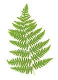 листья изолированные папоротником Стоковая Фотография RF