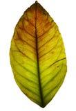 листья изолированные grunge Стоковое фото RF