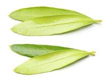 Листья изолированного оливкового дерева Стоковое Фото