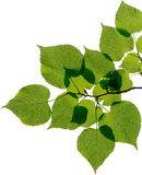 Листья изолированные на белой предпосылке Стоковая Фотография