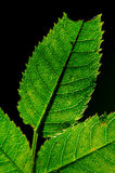 Листья изолированные на черноте Стоковые Фотографии RF
