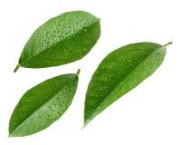 Листья лимона с падениями изолированные на белизне Стоковые Фотографии RF