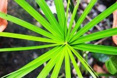 Листья длины, худенький, остроконечный как предпосылка Стоковая Фотография