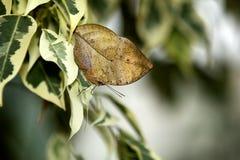 листья индейца бабочки Стоковая Фотография