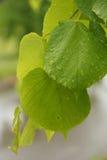 Листья липы Стоковые Фотографии RF