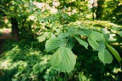 Листья лист на ветви расти дерева Viridis зеленого ольшаника или Alnus Стоковое Изображение RF