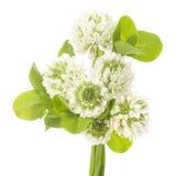 Листья и белые цветки клевера Стоковая Фотография RF
