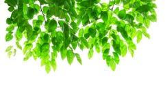 Листья и ветви зеленого цвета на белой предпосылке с закрепляя частью Стоковая Фотография