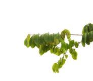 Листья и ветви зеленого цвета на изолированной белой предпосылке Стоковая Фотография RF