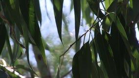 Листья и ветви Eucalytpus в небе видеоматериал