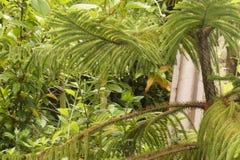Листья и вода Arocaria Стоковое Фото