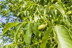 Листья и грецкий орех плодоовощ детенышей Стоковое Изображение