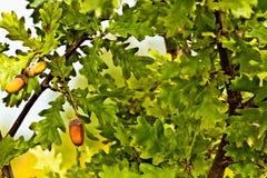 Листья и жолуди Стоковые Фото