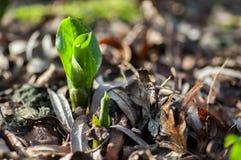 Листья лилии Arum базальные вытекая Стоковые Изображения RF