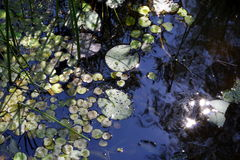 Листья лилий воды на пруде в солнечном свете Стоковые Фото
