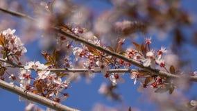 Листья и маленькие цветки вишни и сливы против голубого неба стоковое изображение rf