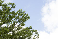 Листья и небо дерева Стоковое Изображение
