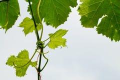 Листья и усики лозы на белой предпосылке Стоковые Изображения