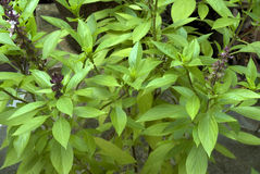 Листья и цветки базилика гвоздичного дерева травы Стоковое Изображение RF