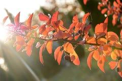Листья и ягоды красного цвета осени на заходе солнца Стоковые Изображения RF