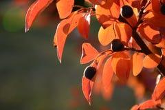 Листья и ягоды красного цвета осени Стоковая Фотография RF