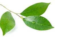 Листья и Seashell на белой предпосылке Стоковые Фото