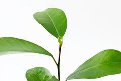 Листья и Seashell на белой предпосылке Стоковая Фотография RF