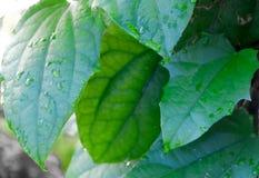 Листья кактуса зеленых предпосылок листвы суккулентные и абстрактные родовые листья Стоковые Фото