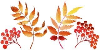 Листья калины в акварели вводят в моду изолированный Стоковые Изображения RF