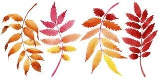 Листья калины в акварели вводят в моду изолированный Стоковые Фото