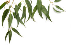 листья камеди граници Стоковое фото RF