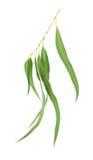 листья камеди Стоковые Изображения