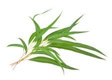 листья камеди Стоковые Изображения RF