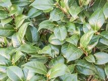 Листья камелии стоковое изображение rf