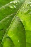 листья капек стоковое изображение rf