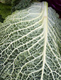 листья капусты близкие вверх Стоковые Фотографии RF