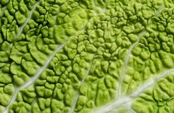Листья капусты савойя стоковое фото