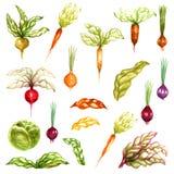 Листья капусты турнепса бураков моркови лука овощей акварели покрасили объекты установленный изолированными на белой предпосылке иллюстрация вектора
