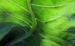 листья капусты стоковые изображения rf