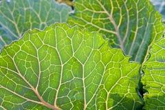 листья капусты Стоковое Изображение RF